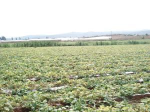 Palestinian cucumber farm