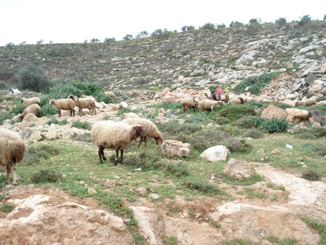 aqraba shepherds