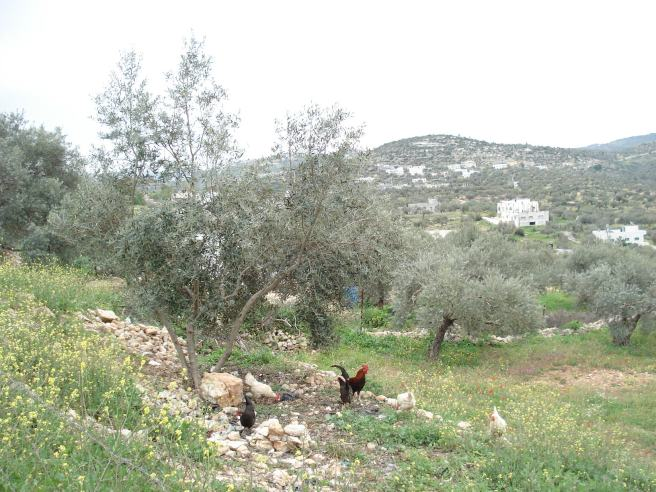chickens in kufr 'ain