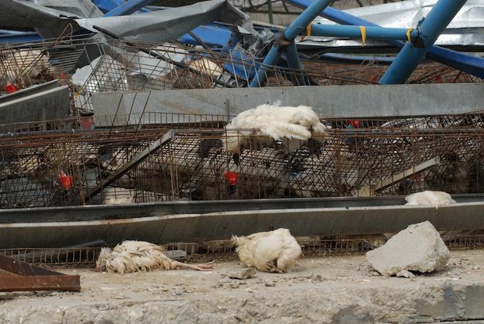 sameh habeeb photo of chickens bombed in gaza