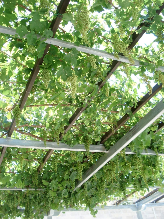 grapes growing for bet gamal's vineyard