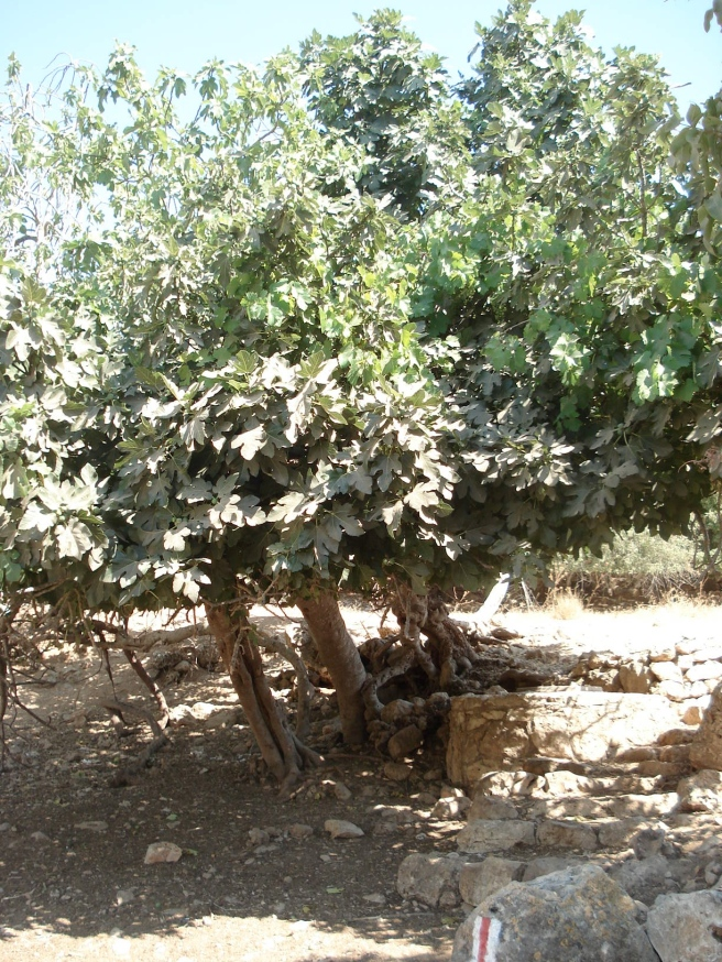 an intertwined grape and fig tree in beit itab